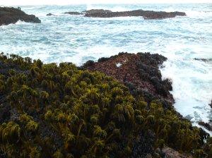 Sea Palm Mendocino Coast