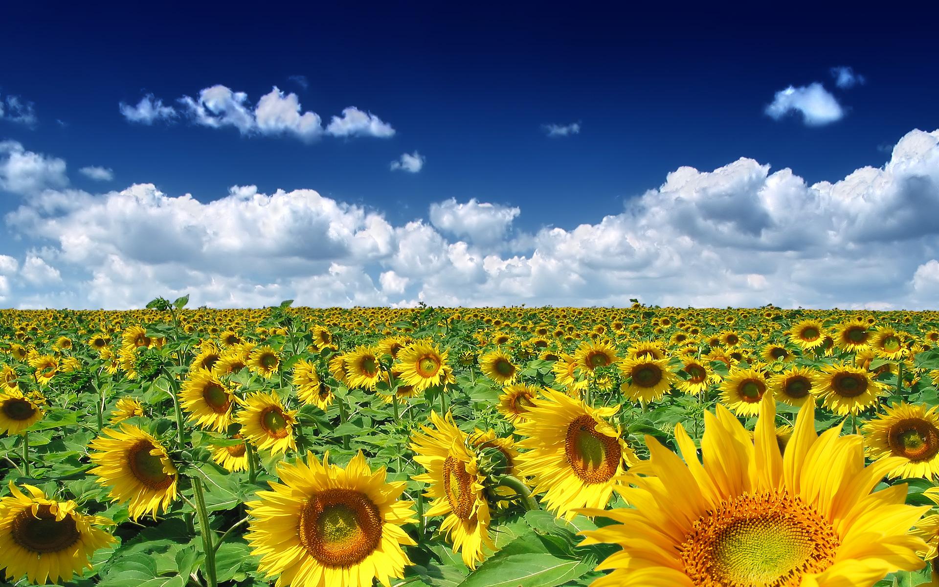 summer sunflowers andrea - photo #28