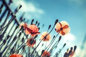 pretty poppies